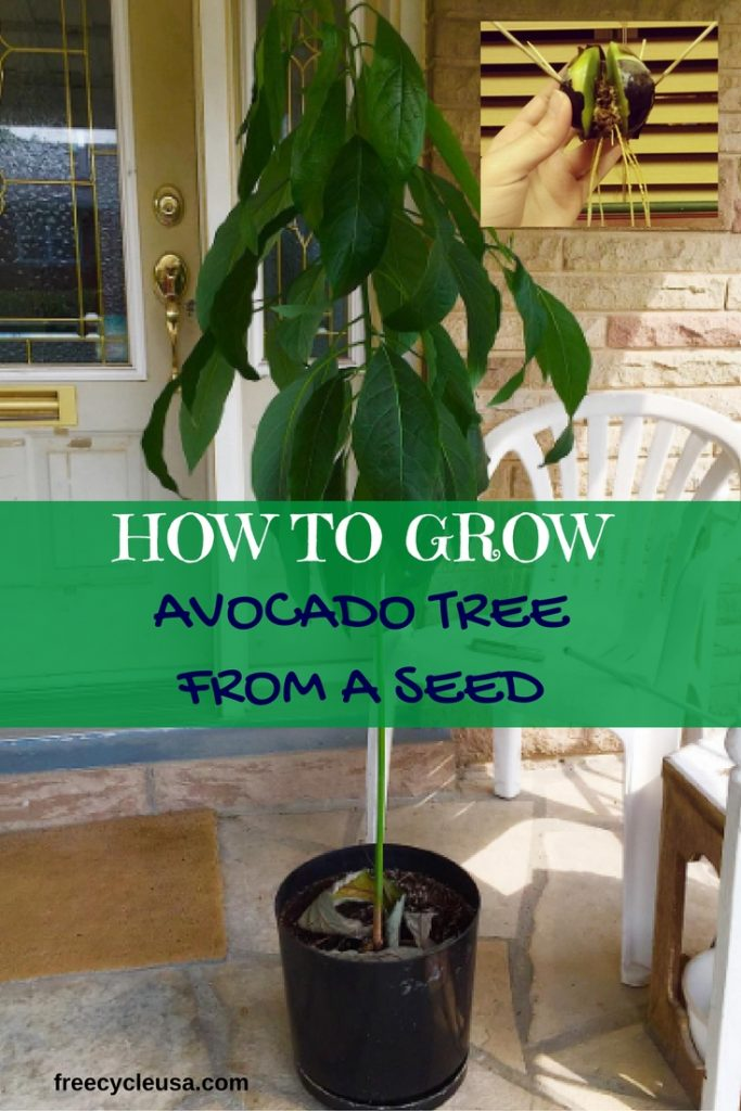 how-to-grow-an-avocado-tree-from-seed